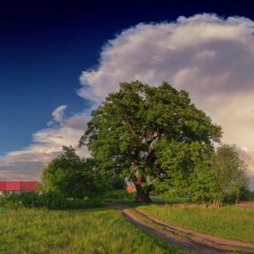 Zdjęcie przedstawiające dąb Słowianin